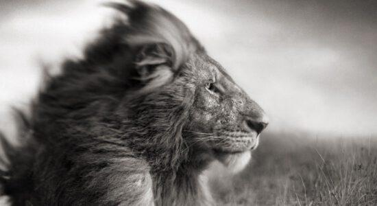 lion_mane_wind_black_white_35919_1920x1080
